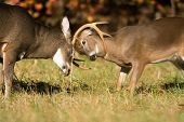 stock photo of sparring  - Two white-tailed deer - one large vs. a spike buck - sparring in an open meadow in Smoky Mountain National Park in Tennessee