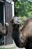 foto of zoo  - Camel in the Zoo park - JPG