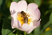 picture of wild-brier  - Bee in the flower of blooming brier