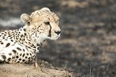 stock photo of termite  - Close up portrait of a cheetah sitting on a termite mound and looking sideways at Serengeti National Park Tanzania - JPG