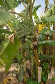 stock photo of banana tree  - Banana tree with bunch of green fruit - JPG