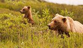 foto of omnivore  - Grizzly bear and its cub in the wild looking sideways at Denali National Park Alaska - JPG