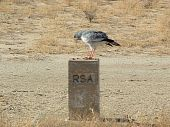 picture of goshawk  - Chanting Goshawk on a border post between the Kgalagadi National Park in the Republic of South Africa and Botswana - JPG