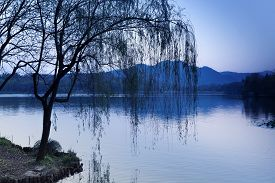 picture of weeping  - Black weeping willow silhouette on the coast - JPG