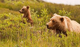 picture of grizzly bear  - Grizzly bear and its cub in the wild looking sideways at Denali National Park Alaska - JPG