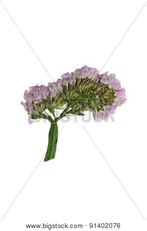Pressed And Dried Flower Statice. Isolated On White Background