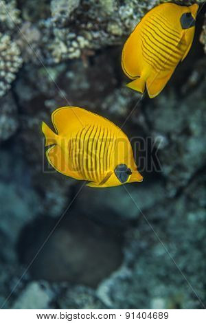 Two blue cheeked  butterflyfish
