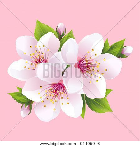 Branch Of White Blossoming Sakura - Japanese Cherry Tree