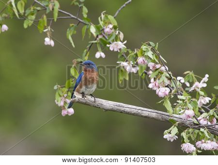 Bluebird Perched in Pink Flowers