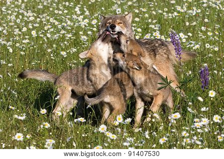 Wolf Pups Playing in Wildflowers