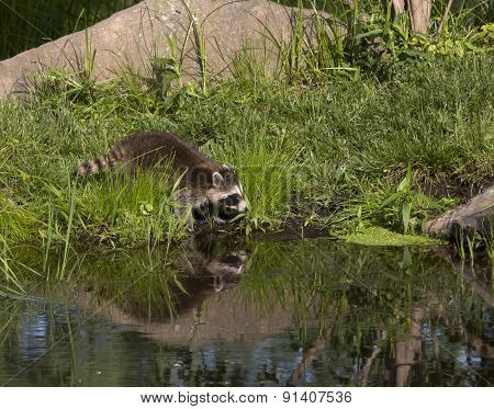 Raccoon Drinking from Lake with Reflection