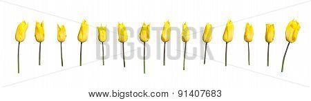 Yellow tulips margin