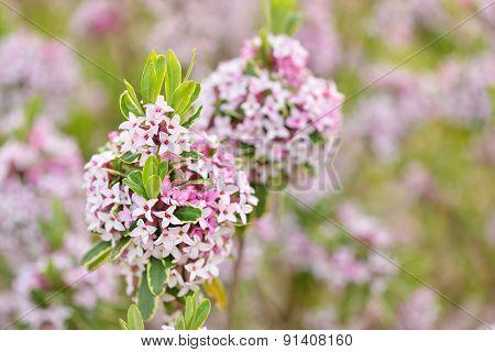 Daphne × Burkwoodii 'carol Mackie'