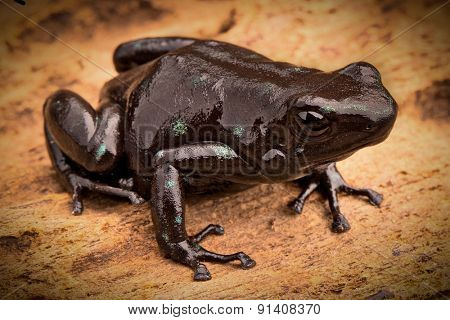 black poison dart frog Dendrobates auratus tropical rain forest animal from the exotic jungle of Panama