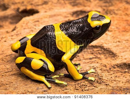 yellow banded poison dart frog, Dendrobates leucomelas from the Amazon rain forest of Venezuela. Beautiful poisonous exotic animal from the tropical jungle