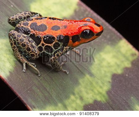 red poison dart frog, Ranitomeya reticulata, small cute rain forest animal from the amazon jungle of Peru