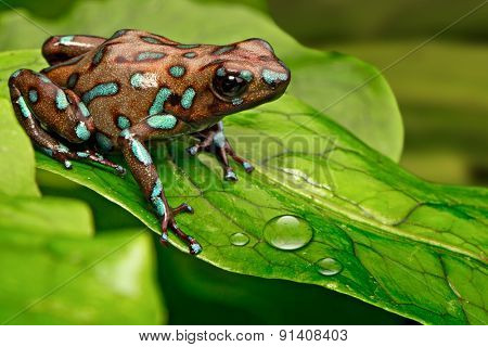poison dart frog Dendrobates auratus from the tropical rain forest of Panama, Beautiful poisonous rainforest animal. Exotic amphibian with warning colors