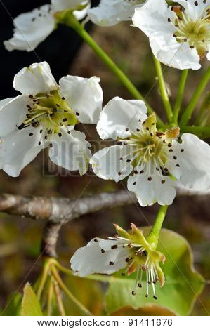 Vertical Image Of Wild Pear Blossoms In The Sun
