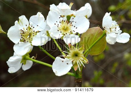 Wild Pear Tree Blossoms, Closeup In Woods