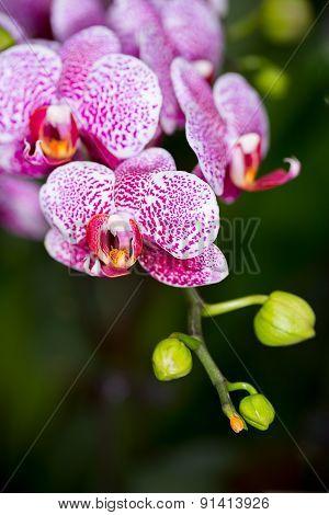 Phalaenopsis Hybrid Orchid Flower, Sdf