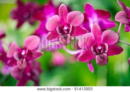 Dendrobium Hifikipunye Pohamba Orchid Flower, Selective Focus