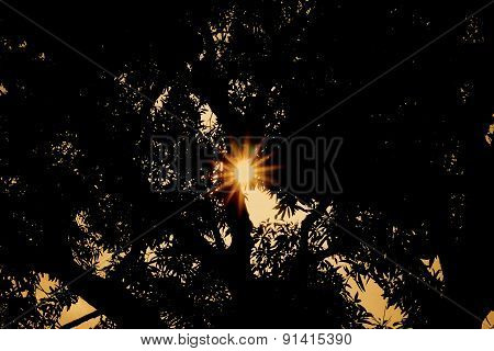 Sun setting behind a huge mango tree