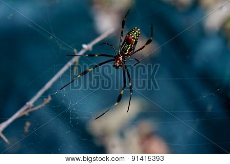 Golden silk orb-weaver- Nephila pilipes