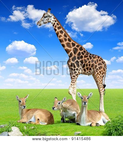 Red lechwe antelope with giraffe