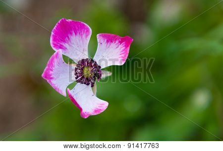 Close-up Of Anemone Coronaria Or Poppy Flower