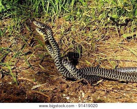 European Whip Snakes