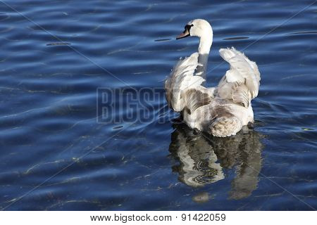 Ruffled Swan Feathers