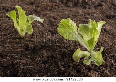 Newly Lettuce Seedlings In The Garden