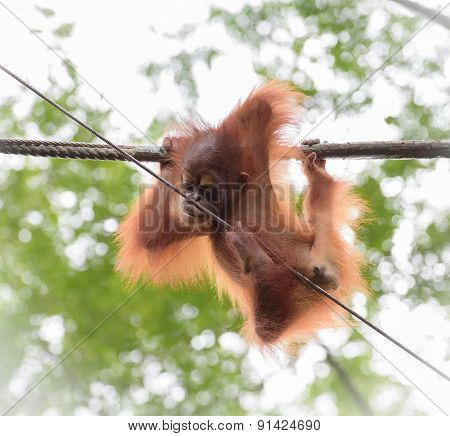 Baby Orangutang In A Funny Pose