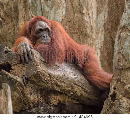 Adult Orangutan Lying Deep In Thoughts