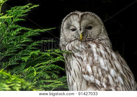 Ural Owl Against Black Background