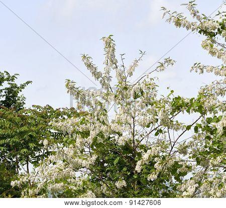 Tree Of Acacia