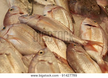 Sea Bream Pagrus