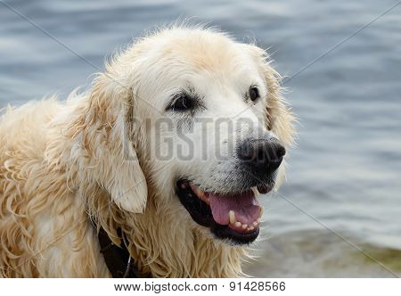 Portrait Of Wet Golden Retriever Dog After Swimming In The Sea