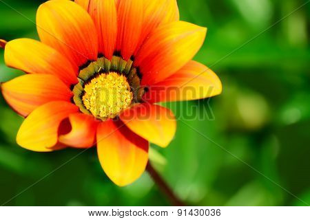 Close Up Of An Orange And Yellow Gazania