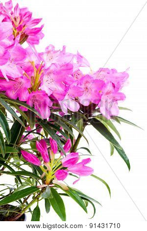 Rhododendron Flowers Isolated