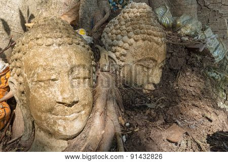 the ancient buddha head at the root of the tree