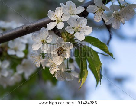 A Bee Pollinates A Blossoming Cherry. Flowers And Gardens