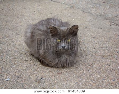 Homeless Gray Cat With Yellow Eyes On The Pavement