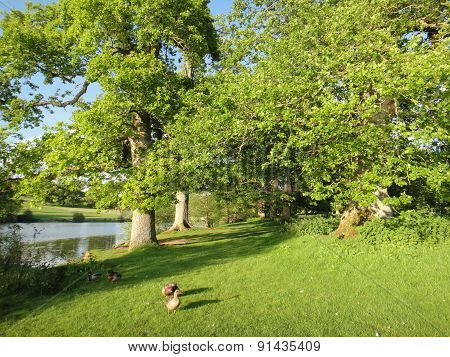 Lakeside Forest Landscape And Ducks