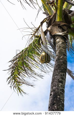 Coconut tree, Maui, Hawaii