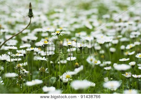 Spring Blossom In The Grass