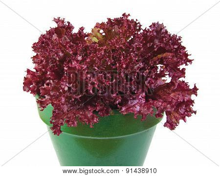 Oak Leaf lettuce planted in a green pot isolated on a white background