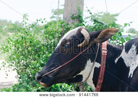Cow With Toggle Pattern Black-white
