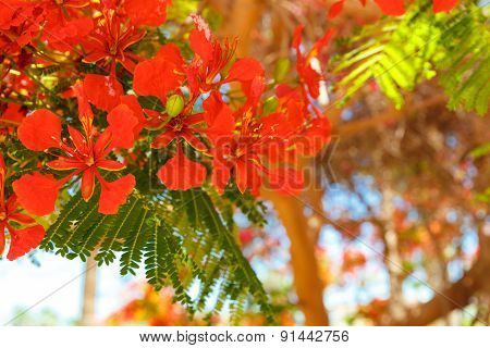 The Blooming Red Acacia