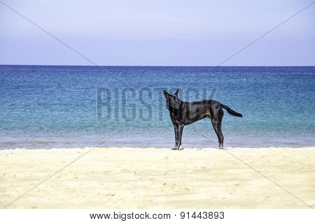 Black Dog On Beautiful Beach And Tropical Sea